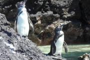 Try looking at these penguinos and not squealing