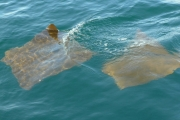Mating rays