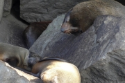 Elusive Galapagos fur sea lion
