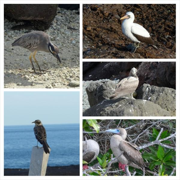 Birds of Genovesa