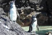 Penguinos!