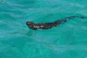 Marine iguanas use their tails to swim