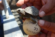 10 day old turtle