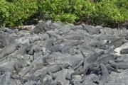 Hundreds of Marine Iguanas
