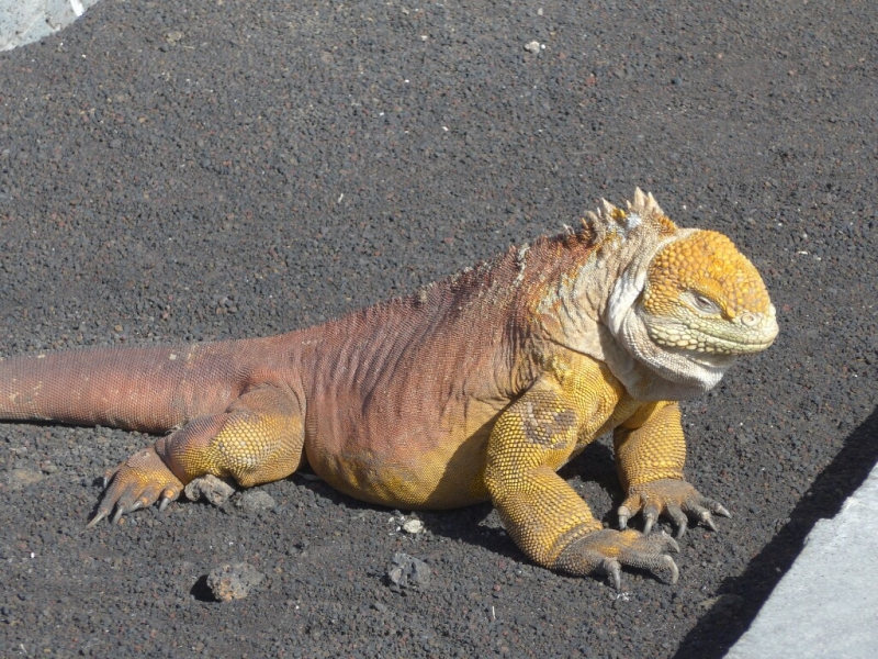 The cousin to our marine iguana friends